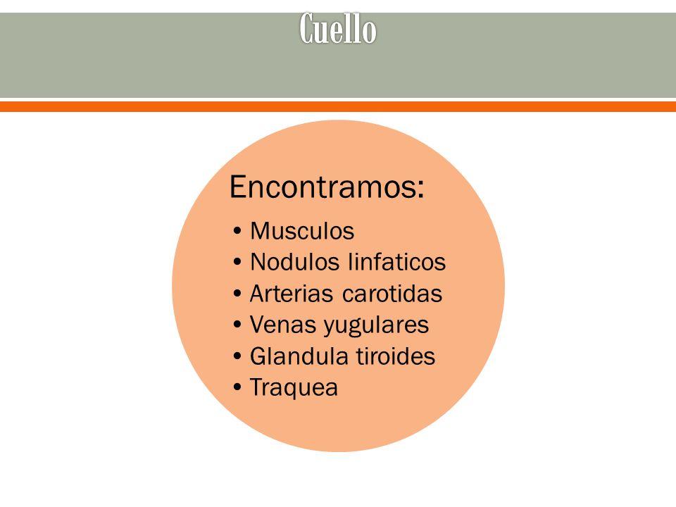 Simetría bilateral de los músculos del cuello Ejercicio de flexión y extensión Girar hacia la izquierda y hacia la derecha.