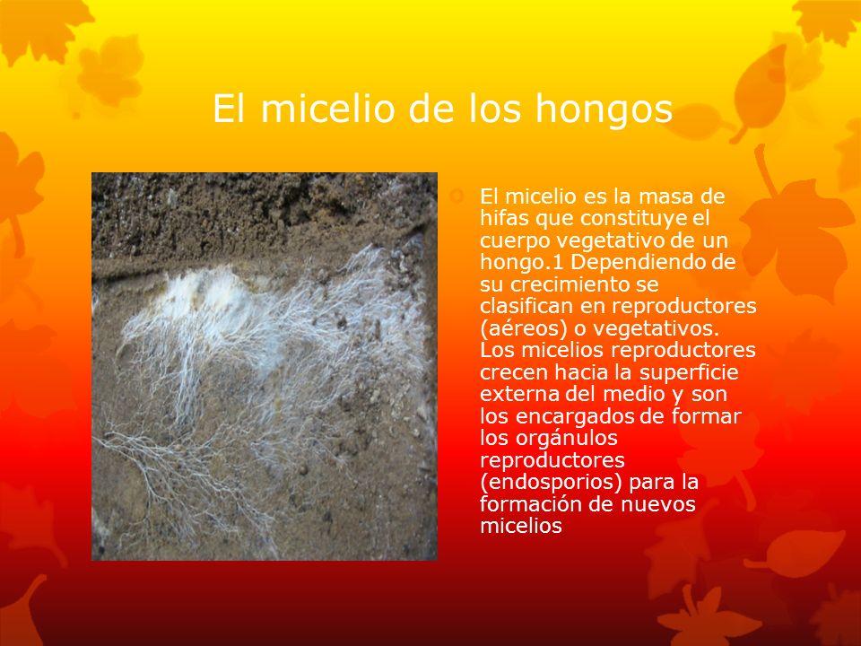 El micelio de los hongos El micelio es la masa de hifas que constituye el cuerpo vegetativo de un hongo.1 Dependiendo de su crecimiento se clasifican