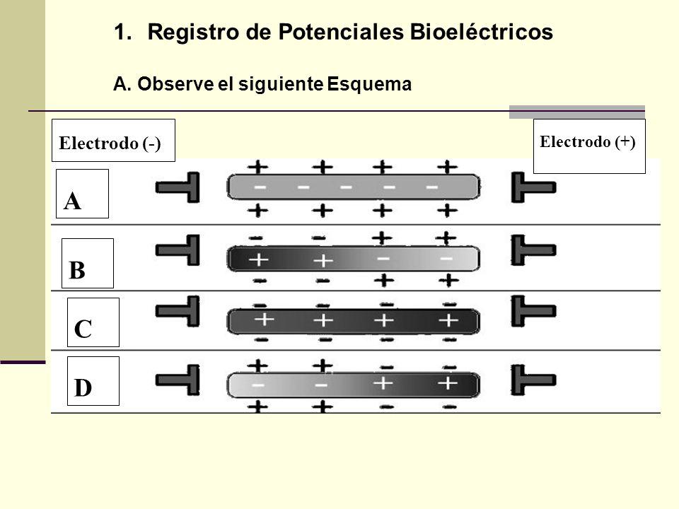 1.Registro de Potenciales Bioeléctricos A. Observe el siguiente Esquema A Electrodo (-) Electrodo (+) B C D
