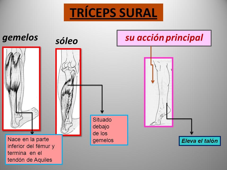 ISQUIOTIBIALES Formado por tres músculos Semimembranoso Semitendinoso Bíceps femoral Su acción principal Realiza la flexión de rodilla