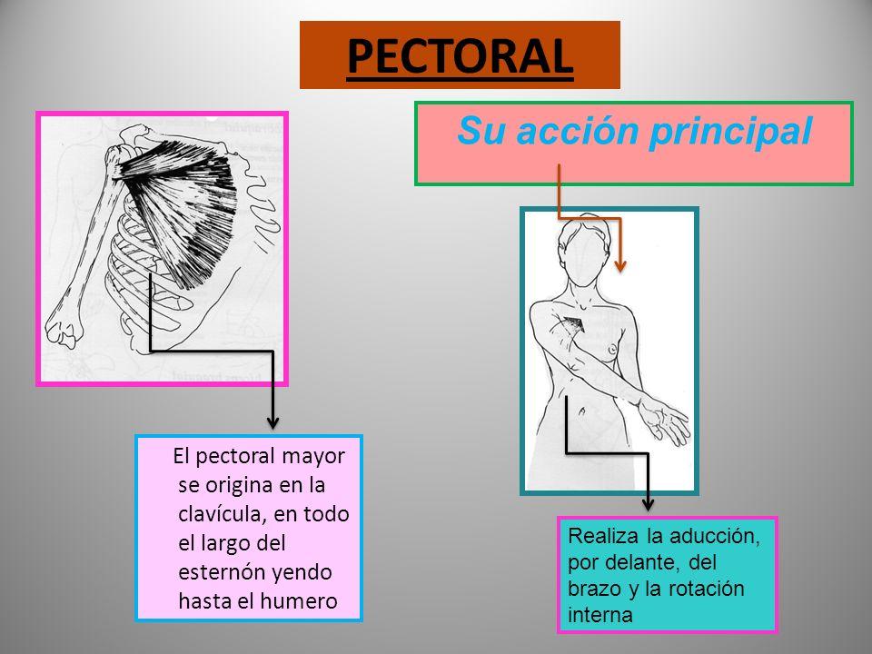 MÚSCULOS DEL TRONCO Parte anterior Pectoral Abdominales recto oblicuos menor mayor transverso Parte posterior Trapecio Gran dorsal Psoas