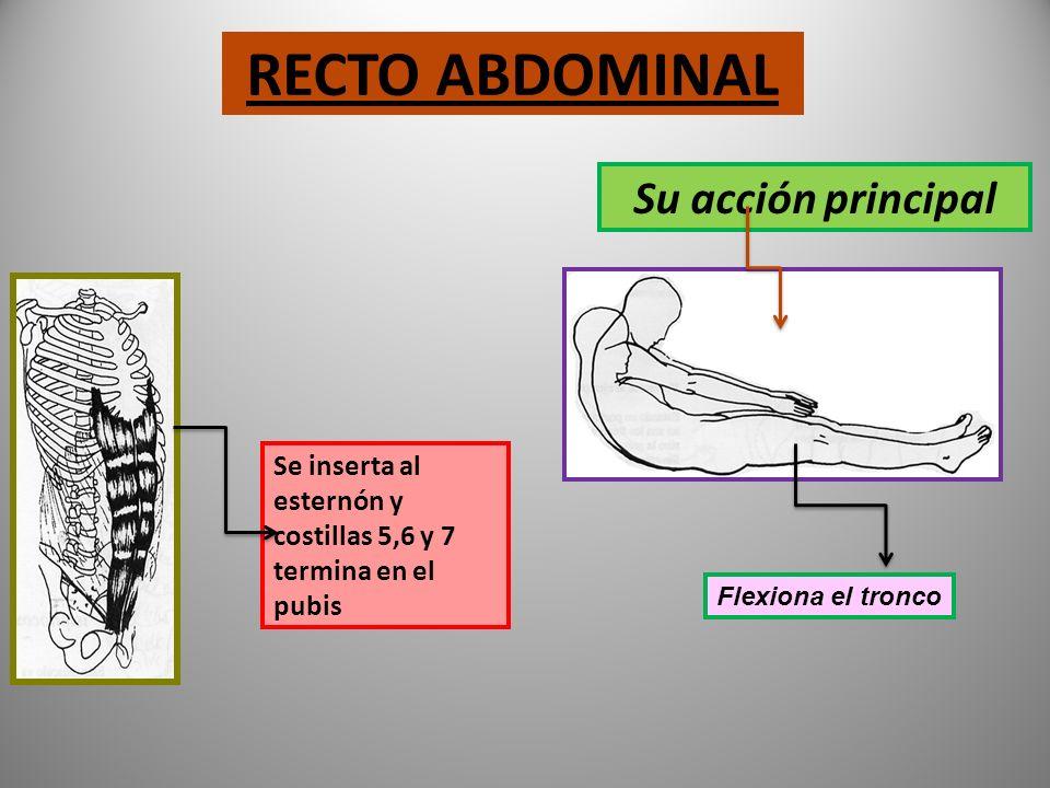 PECTORAL El pectoral mayor se origina en la clavícula, en todo el largo del esternón yendo hasta el humero Su acción principal Realiza la aducción, po