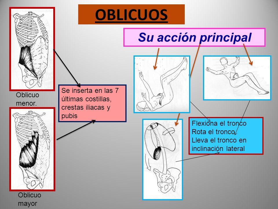 RECTO ABDOMINAL Se inserta al esternón y costillas 5,6 y 7 termina en el pubis Su acción principal Flexiona el tronco