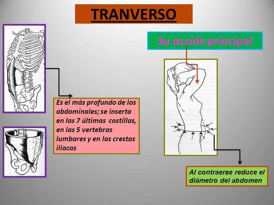 OBLICUOS Se inserta en las 7 últimas costillas, crestas iliacas y pubis Oblicuo menor. Oblicuo mayor Su acción principal Flexiona el tronco Rota el tr