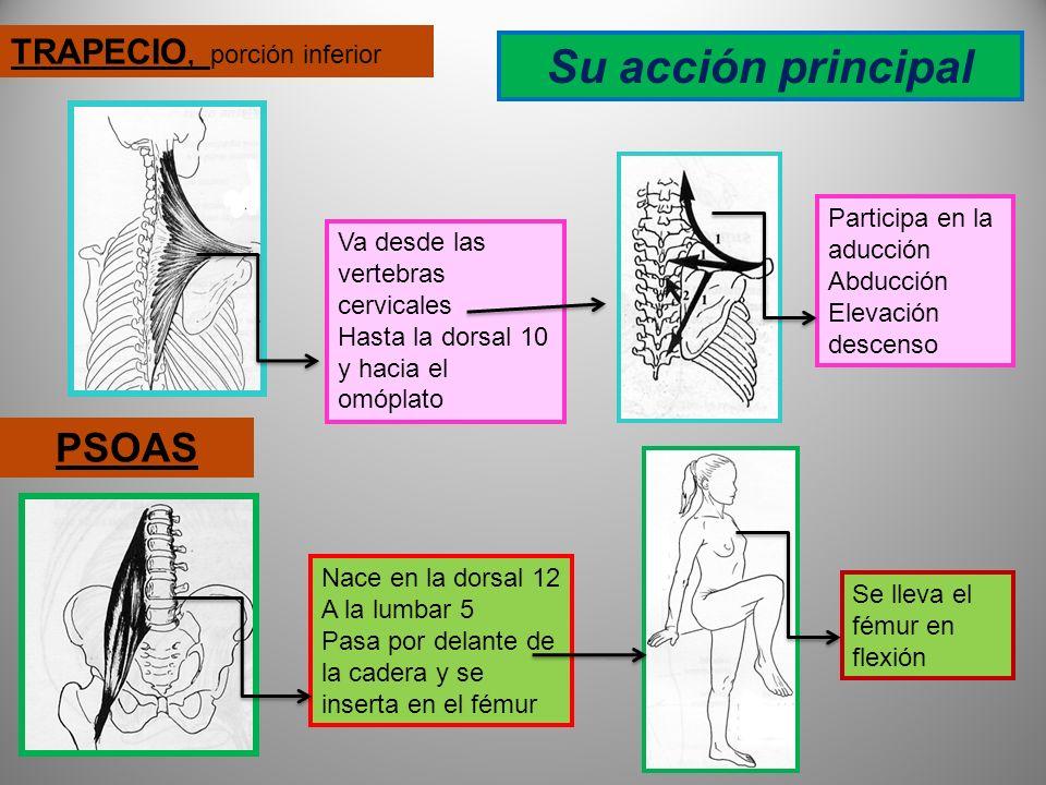 TRANVERSO Es el más profundo de los abdominales; se inserta en las 7 últimas costillas, en las 5 vertebras lumbares y en las crestas iliacas Su acción