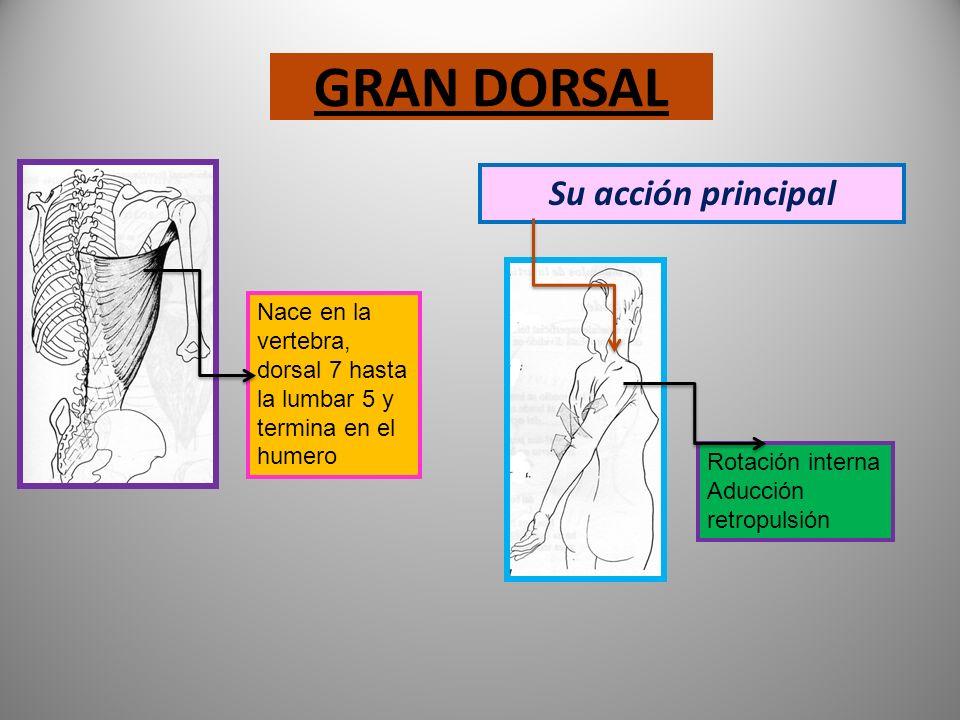 TRAPECIO, porción inferior PSOAS Va desde las vertebras cervicales Hasta la dorsal 10 y hacia el omóplato Nace en la dorsal 12 A la lumbar 5 Pasa por