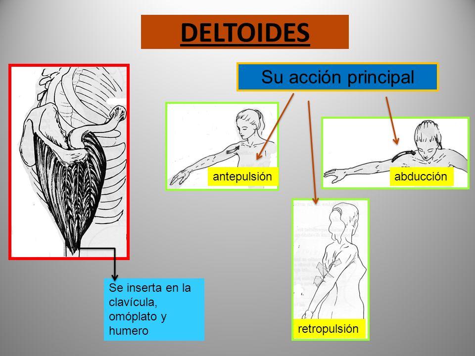MÚSCULOS DEL HOMBRO BRAZO Y CUELLO Hombro: Deltoides Brazo: Bíceps Tríceps Cuello: esternocleido-mastoideo trapecio.