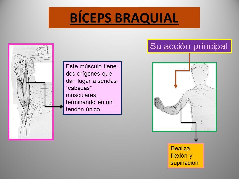 DELTOIDES Se inserta en la clavícula, omóplato y humero Su acción principal antepulsión retropulsión abducción