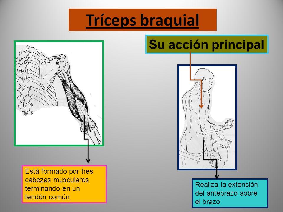 BÍCEPS BRAQUIAL Este músculo tiene dos orígenes que dan lugar a sendas cabezas musculares, terminando en un tendón único Su acción principal Realiza f