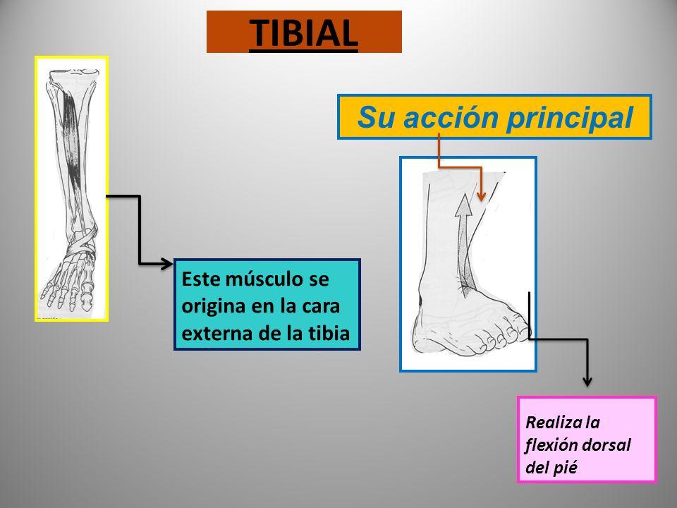CUÁDRICEPS graficos Su acción principal Crural, el más profundo Vasto interno Vasto externo Recto anterior Interviene al caminar Realiza la extensión