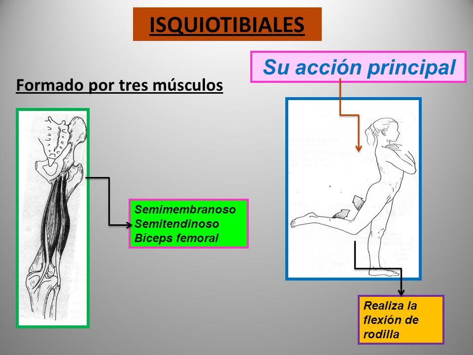 gráficos Su acción principal en los movimientos de cadera Participa en Aducción abducción retropulsión rotación menor mediano mayor GLÚTEOS