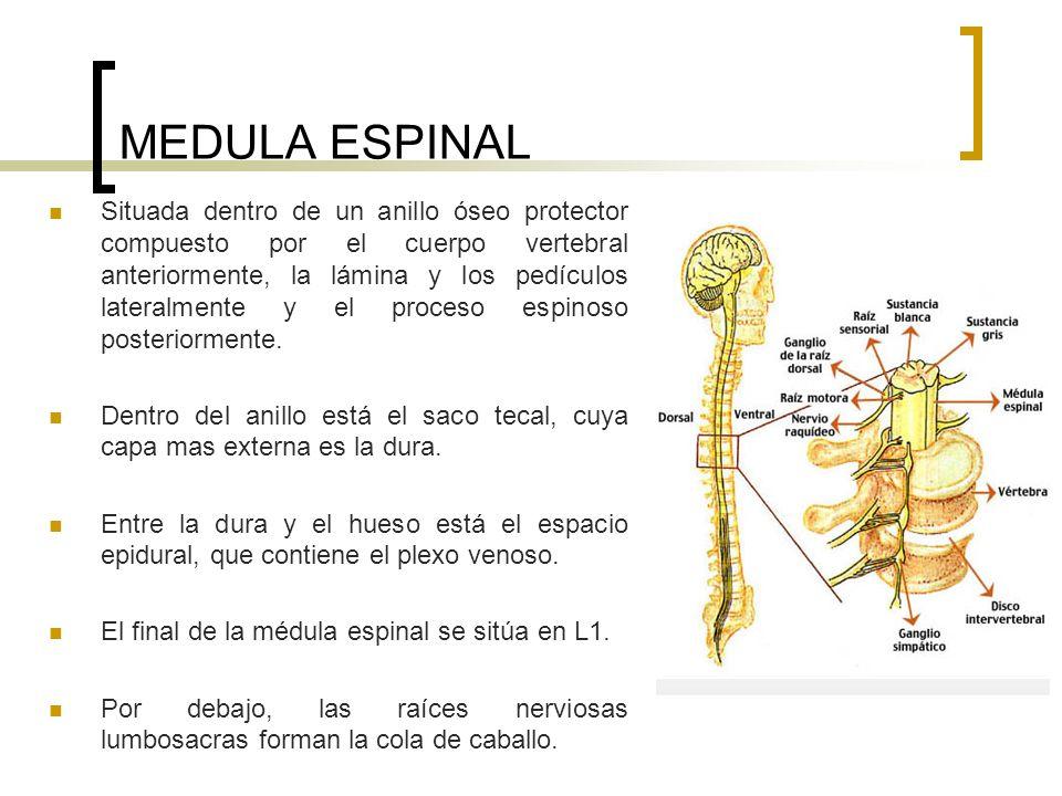 MEDULA ESPINAL Situada dentro de un anillo óseo protector compuesto por el cuerpo vertebral anteriormente, la lámina y los pedículos lateralmente y el