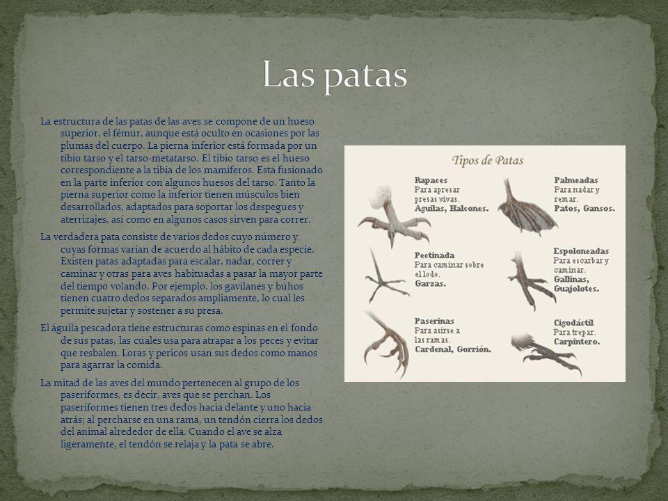 La estructura de las patas de las aves se compone de un hueso superior, el fémur, aunque está oculto en ocasiones por las plumas del cuerpo.