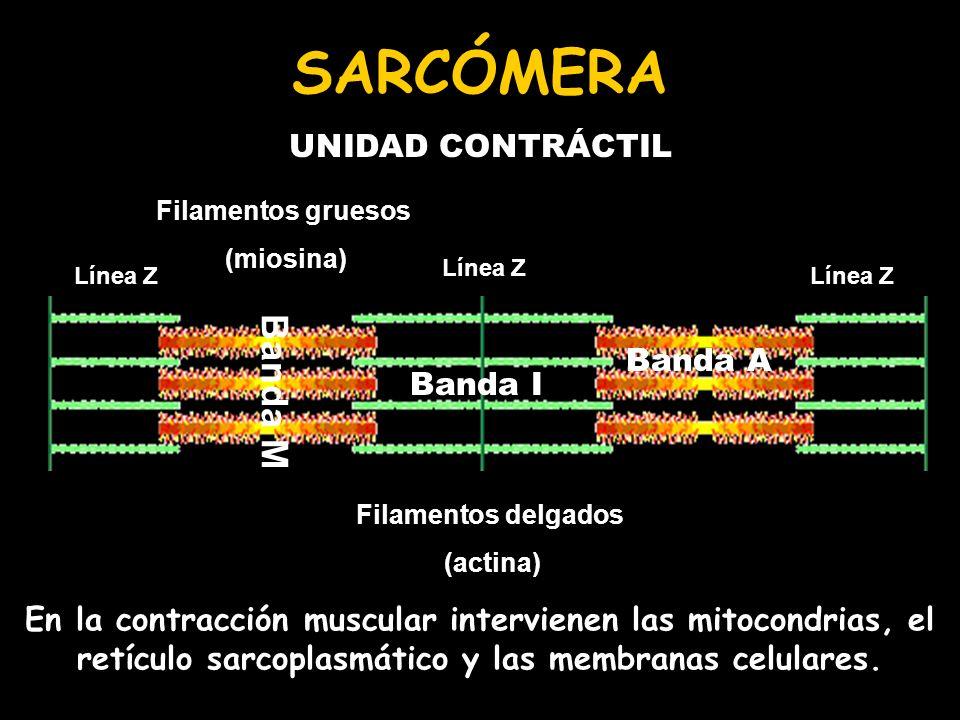 Línea Z Filamentos gruesos (miosina) Filamentos delgados (actina) Banda I Banda A Banda M SARCÓMERA UNIDAD CONTRÁCTIL En la contracción muscular inter