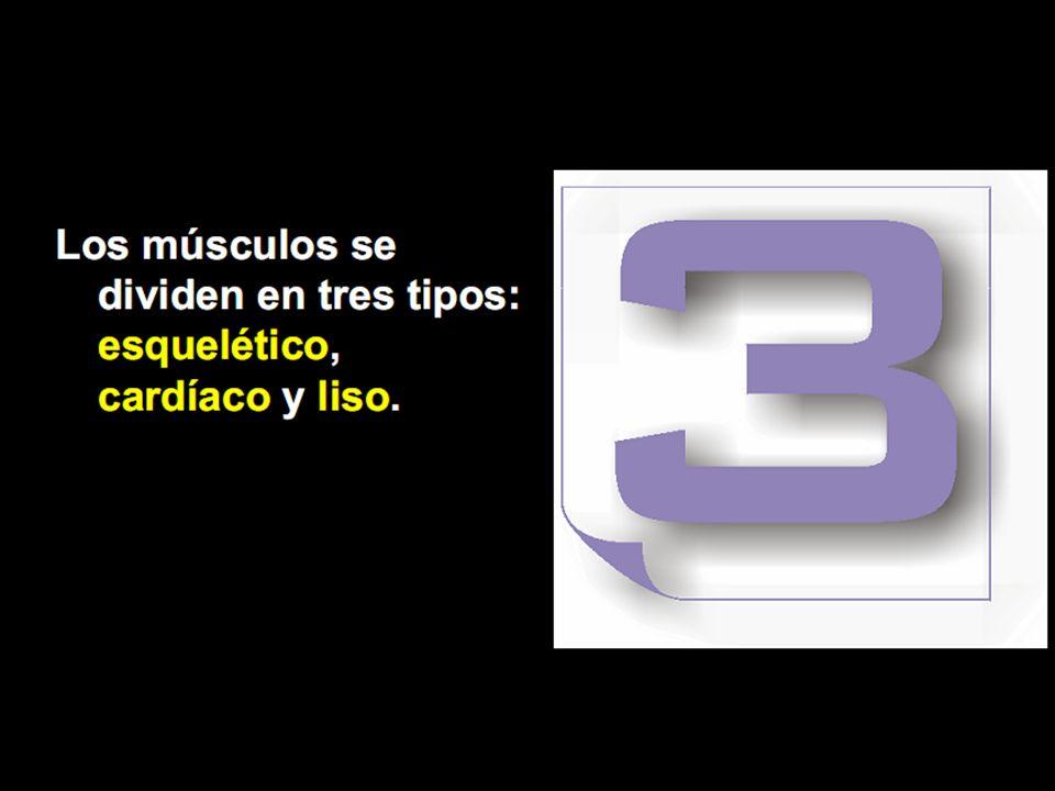 Músculo Esquelético Esta formado por fibras musculares que poseen estrías Transversales.
