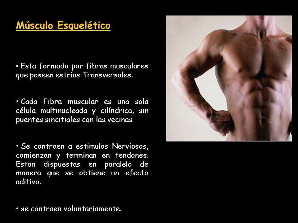 Músculo Esquelético Esta formado por fibras musculares que poseen estrías Transversales. Cada Fibra muscular es una sola célula multinucleada y cilínd