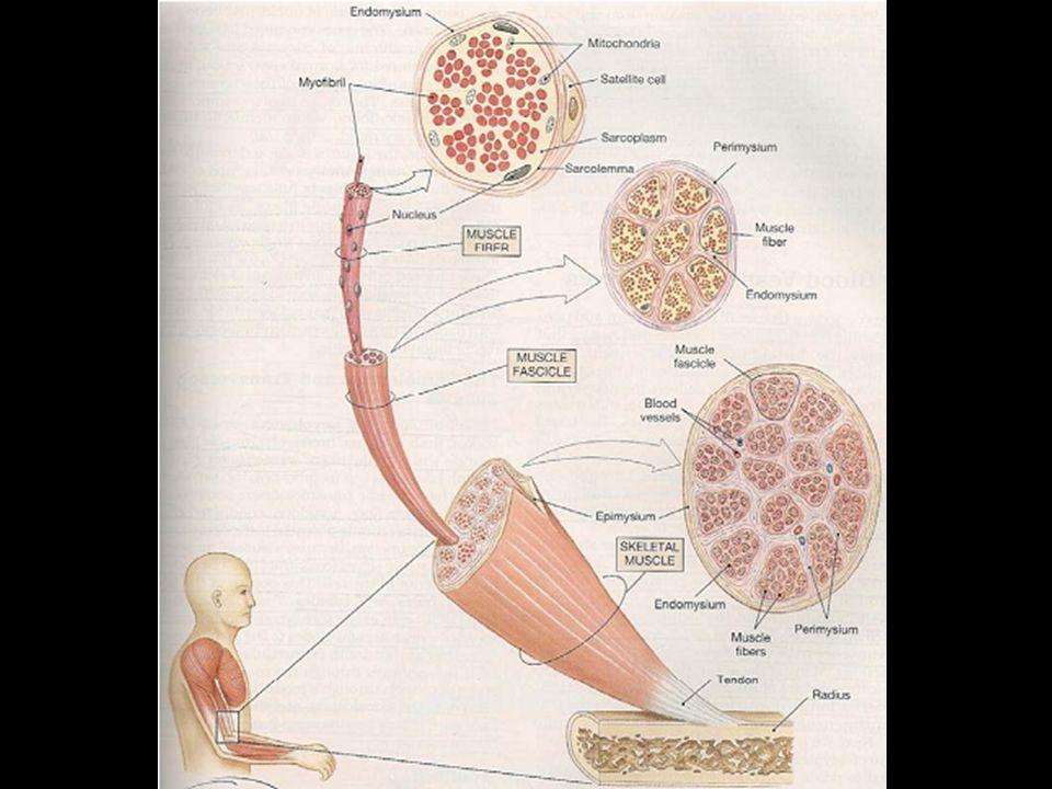 Insuficiencia Cardiaca Músculo Cardiaco