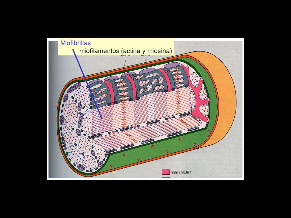 Músculo Cardiaco El músculo cardiaco está formado por células musculares cilindricas ramificadas, que poseen uno o dos núcleos y que se unen entre sí a través de discos intercalares.