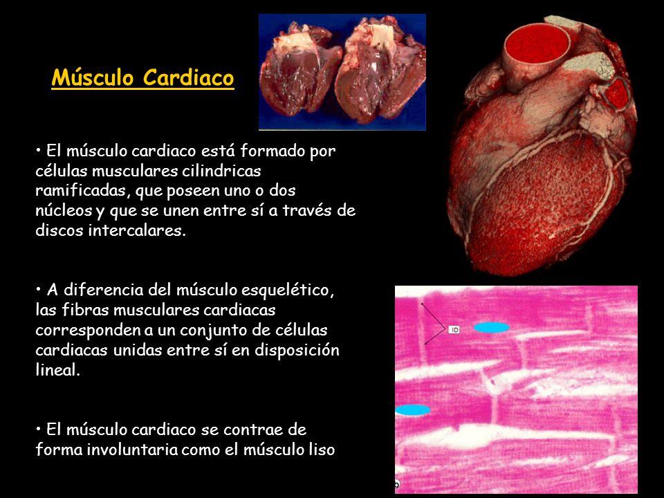 Músculo Cardiaco El músculo cardiaco está formado por células musculares cilindricas ramificadas, que poseen uno o dos núcleos y que se unen entre sí