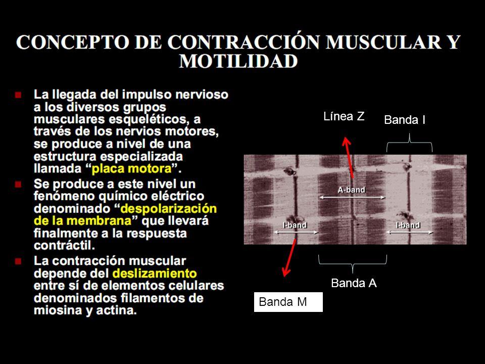 Línea Z Filamentos gruesos (miosina) Filamentos delgados (actina) Banda I Banda A Banda M SARCÓMERA UNIDAD CONTRÁCTIL En la contracción muscular intervienen las mitocondrias, el retículo sarcoplasmático y las membranas celulares.