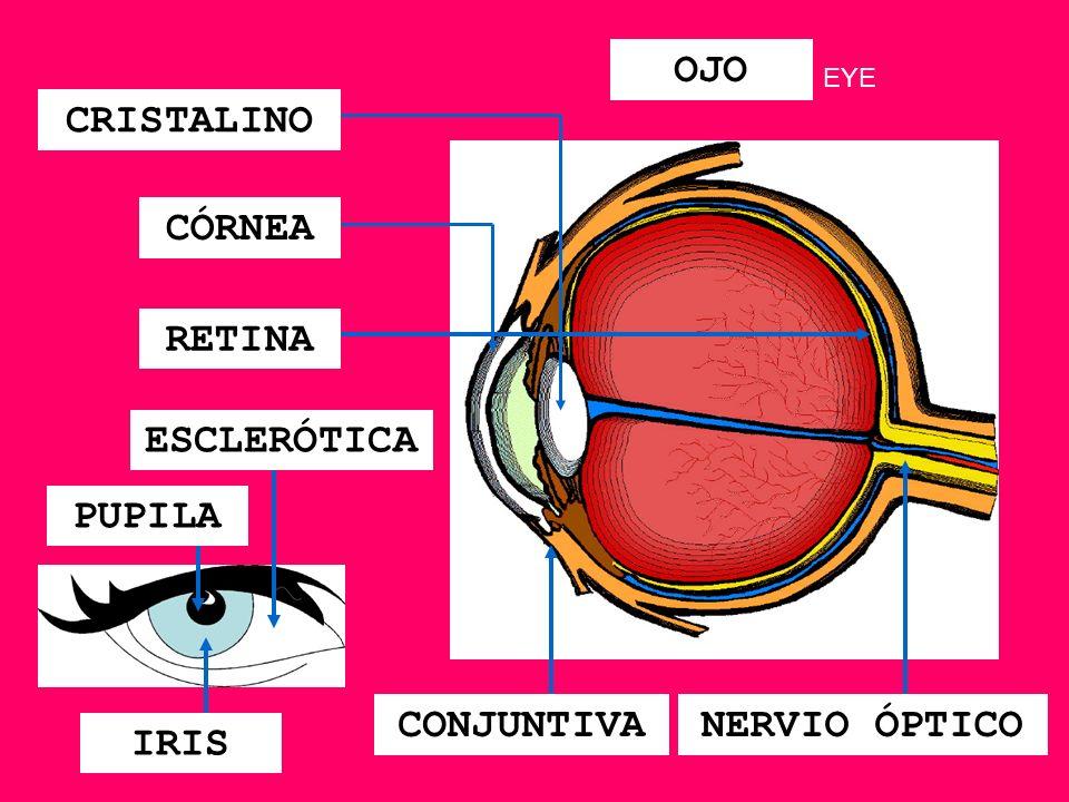 CORAZÓN VÁLVULAS AORTA SEPTUM ARTERIA PULMONAR VENA CAVA ATRIOS VENTRÍCULOS HEART