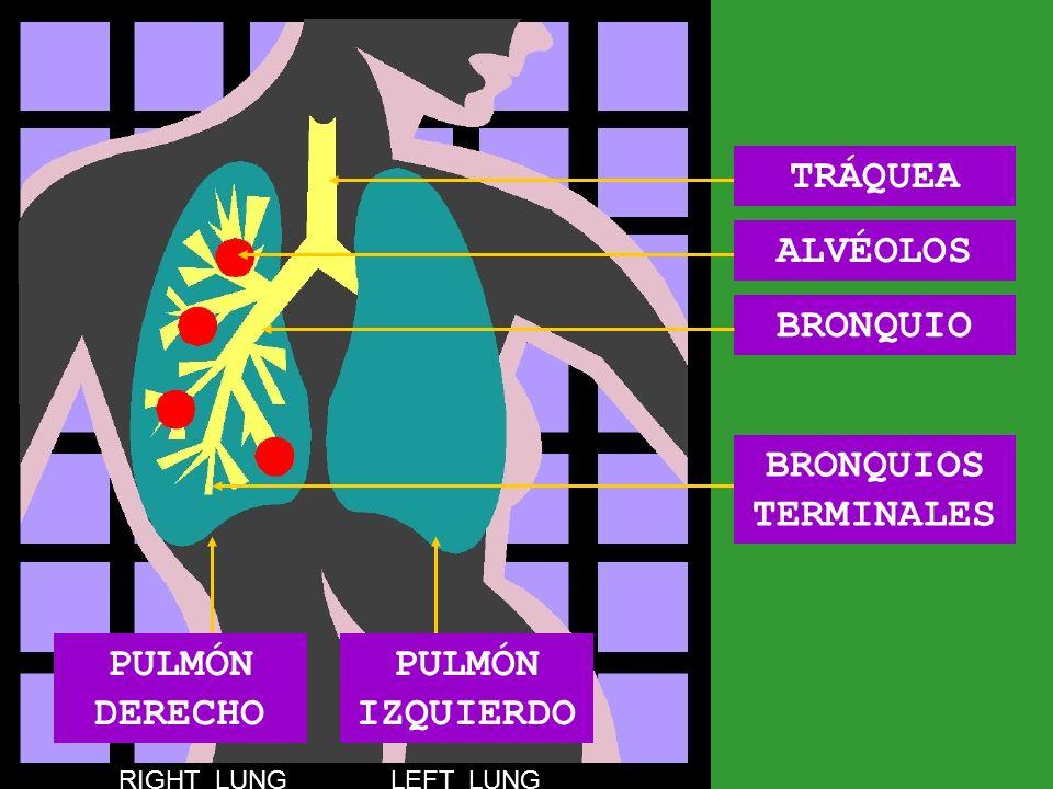 BRONQUIO TRÁQUEA BRONQUIOS TERMINALES ALVÉOLOS RIGHT LUNG LEFT LUNG PULMÓN IZQUIERDO PULMÓN DERECHO