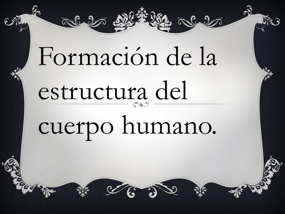 Formación de la estructura del cuerpo humano.