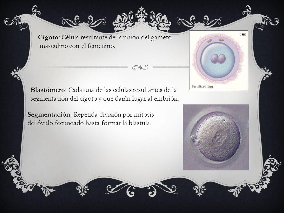 Cigoto: Célula resultante de la unión del gameto masculino con el femenino. Blastómero: Cada una de las células resultantes de la segmentación del cig