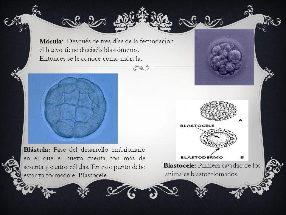 Mórula Mórula: Después de tres días de la fecundación, el huevo tiene dieciséis blastómeros. Entonces se le conoce como mórula. Blástula: Blástula: Fa