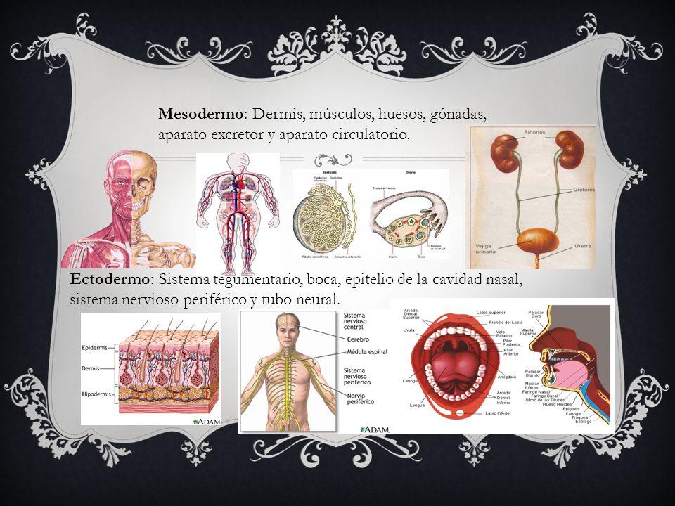 Mesodermo: Dermis, músculos, huesos, gónadas, aparato excretor y aparato circulatorio. Ectodermo: Sistema tegumentario, boca, epitelio de la cavidad n