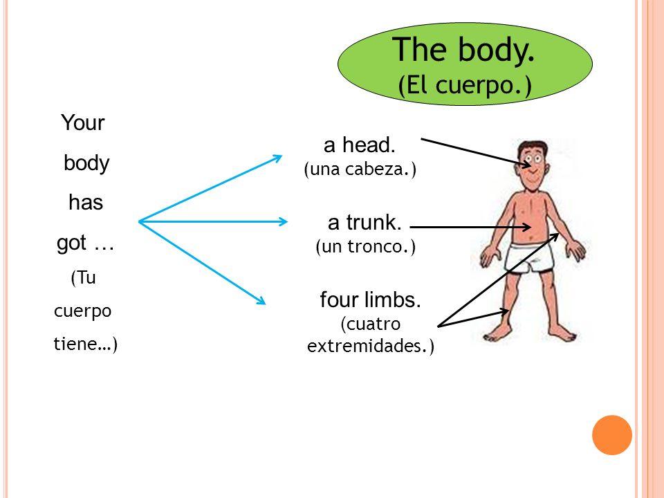 The body.(El cuerpo.) Your body has got … (Tu cuerpo tiene…) four limbs.