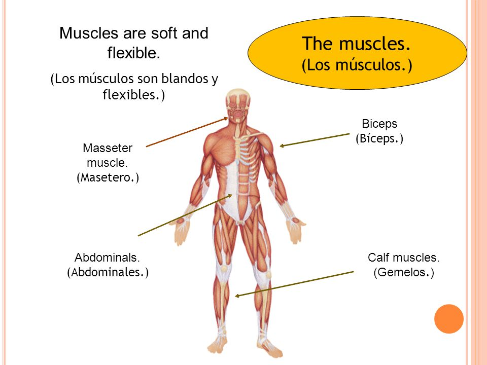 The muscles.(Los músculos.) Muscles are soft and flexible.