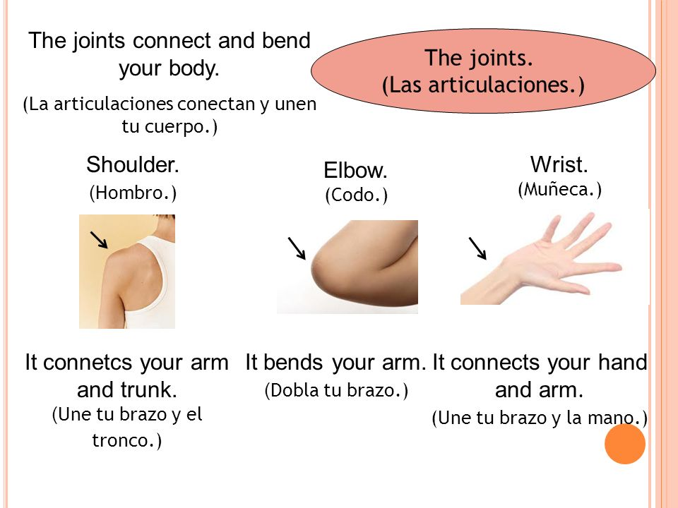 The joints.(Las articulaciones.) The joints connect and bend your body.