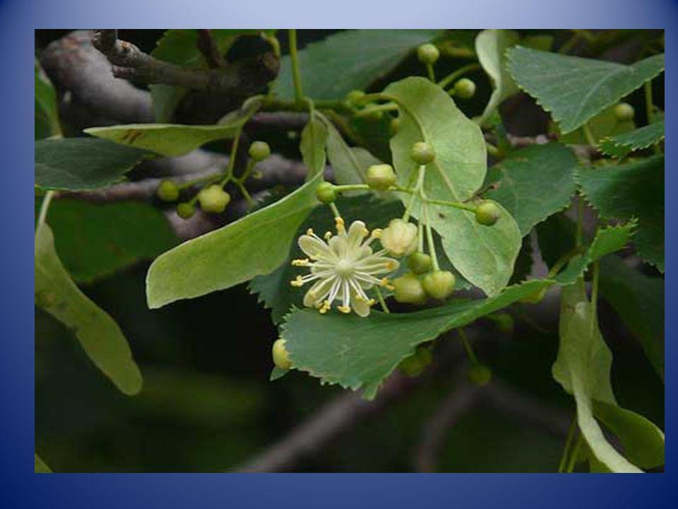 -CASO B: El uso de plantas medicinales para evitar los dolores de cabeza producidos por el estrés y el insomnio. Este método es utilizado por mi padre