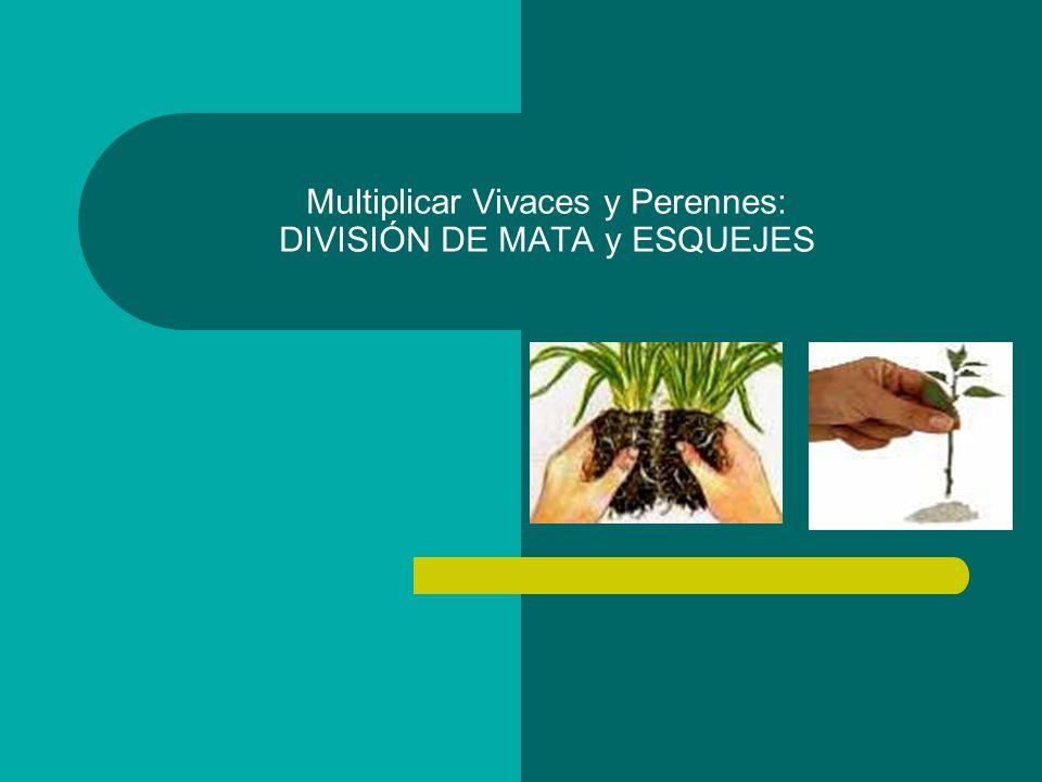 Multiplicar Vivaces y Perennes: DIVISIÓN DE MATA y ESQUEJES