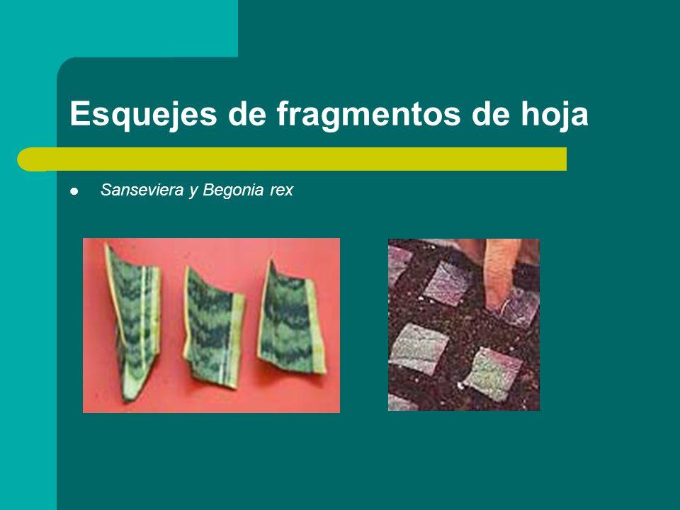 Esquejes de fragmentos de hoja Sanseviera y Begonia rex Sanseviera