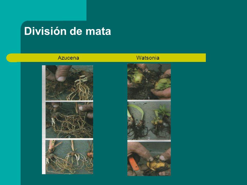 División de mata Azucena Watsonia