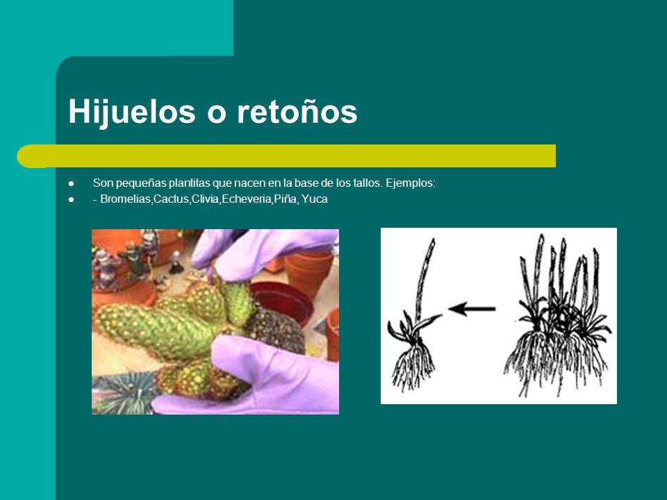 Hijuelos o retoños Son pequeñas plantitas que nacen en la base de los tallos. Ejemplos: - Bromelias,Cactus,Clivia,Echeveria,Piña, Yuca