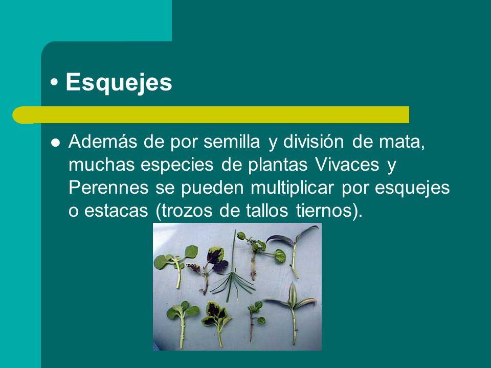 Esquejes Además de por semilla y división de mata, muchas especies de plantas Vivaces y Perennes se pueden multiplicar por esquejes o estacas (trozos de tallos tiernos).