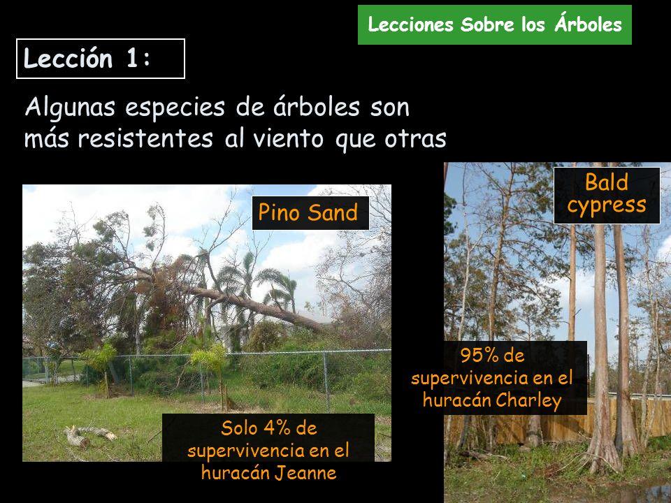 Solo 4% de supervivencia en el huracán Jeanne 95% de supervivencia en el huracán Charley Bald cypress Pino Sand Algunas especies de árboles son más re