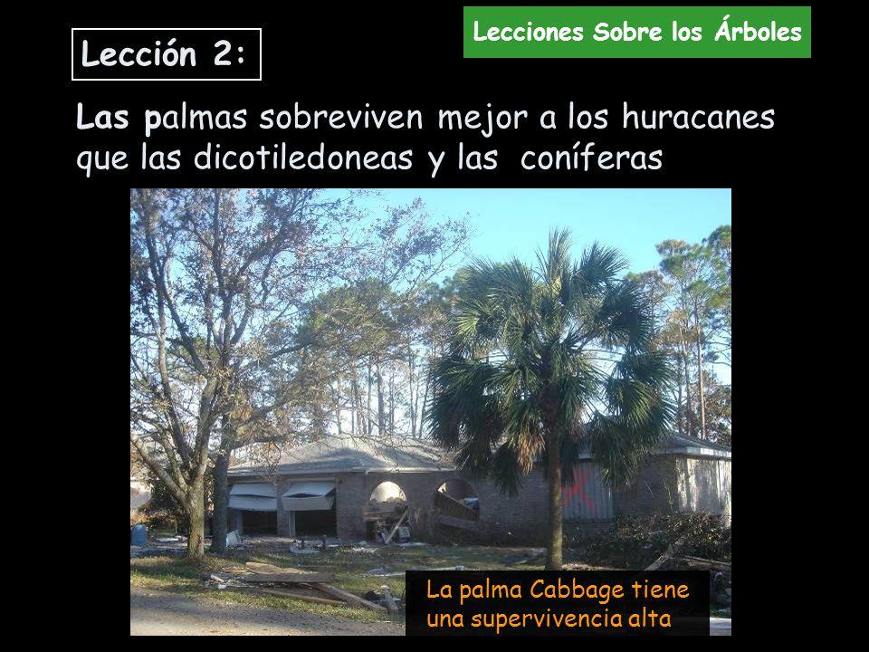Las palmas sobreviven mejor a los huracanes que las dicotiledoneas y las coníferas La palma Cabbage tiene una supervivencia alta Lección 2: Lecciones
