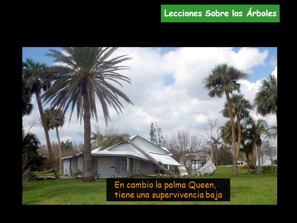 En cambio la palma Queen, tiene una supervivencia baja Lecciones Sobre los Árboles