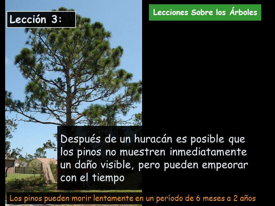 Después de un huracán es posible que los pinos no muestren inmediatamente un daño visible, pero pueden empeorar con el tiempo Los pinos pueden morir l