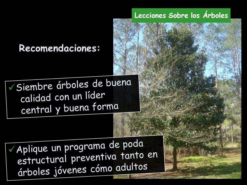 Recomendaciones: Siembre árboles de buena calidad con un líder central y buena forma Aplique un programa de poda estructural preventiva tanto en árbol