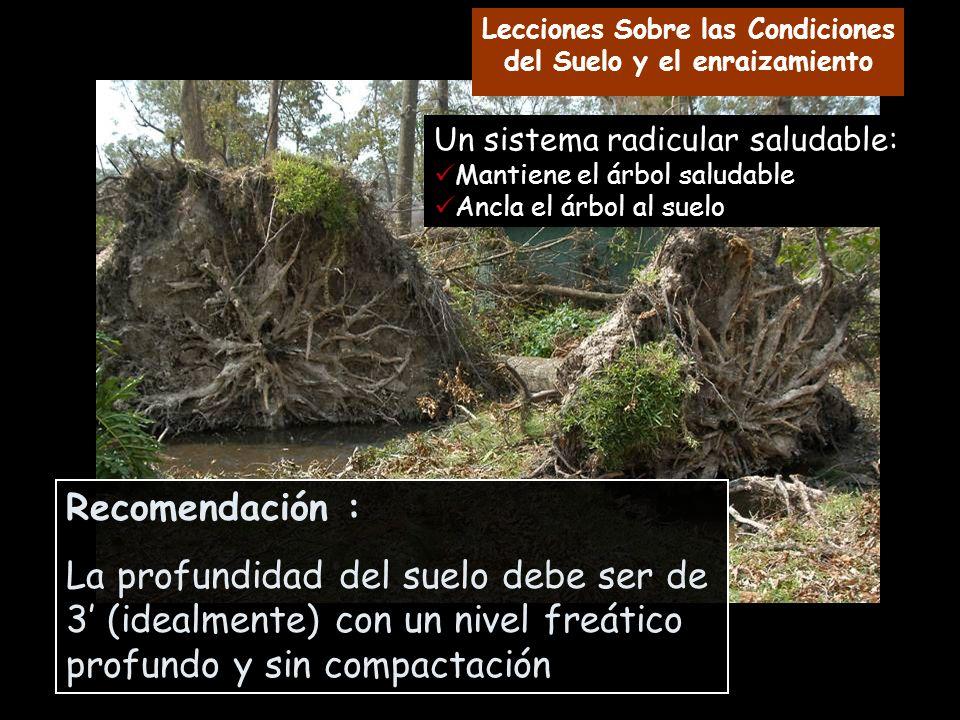 Un sistema radicular saludable: Mantiene el árbol saludable Ancla el árbol al suelo Recomendación : La profundidad del suelo debe ser de 3 (idealmente