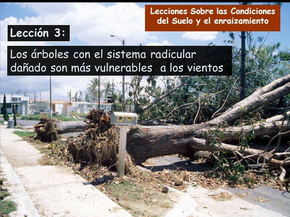 Los árboles con el sistema radicular dañado son más vulnerables a los vientos Lección 3: Lecciones Sobre las Condiciones del Suelo y el enraizamiento