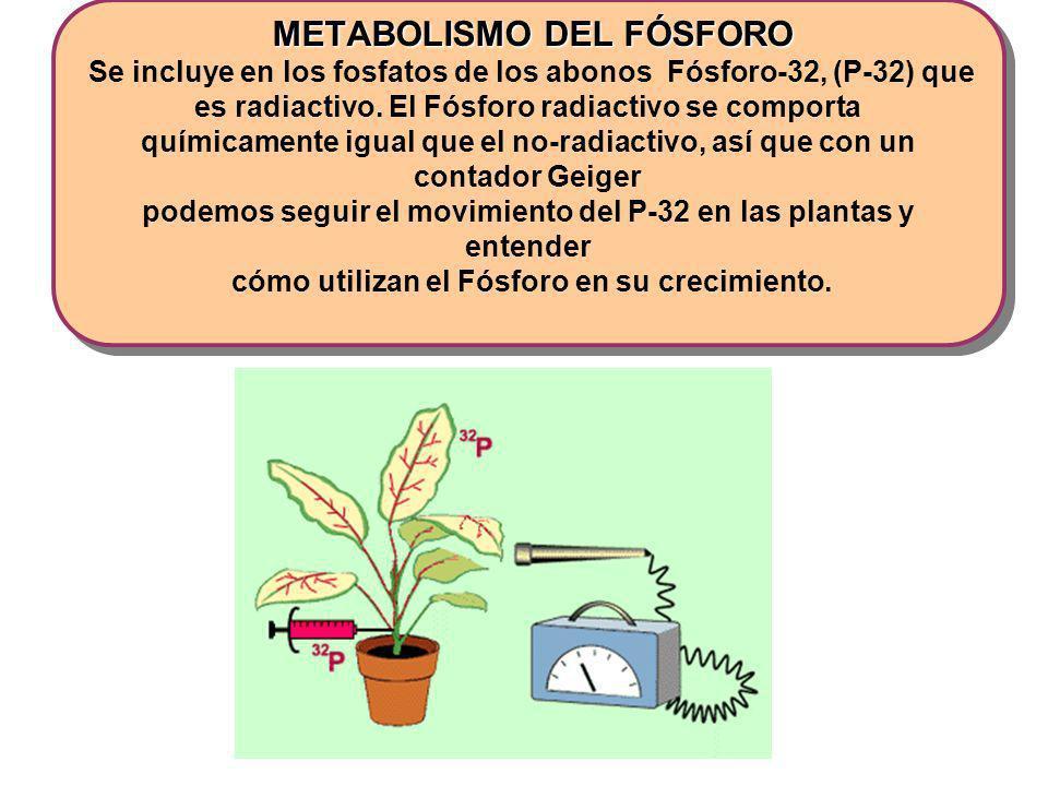 METABOLISMO DEL FÓSFORO METABOLISMO DEL FÓSFORO Se incluye en los fosfatos de los abonos Fósforo-32, (P-32) que es radiactivo. El Fósforo radiactivo s