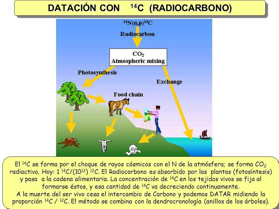 DATACIÓN CON 14 C (RADIOCARBONO) El 14 C se forma por el choque de rayos cósmicos con el N de la atmósfera; se forma CO 2 radiactivo. Hoy: 1 14 C/(10