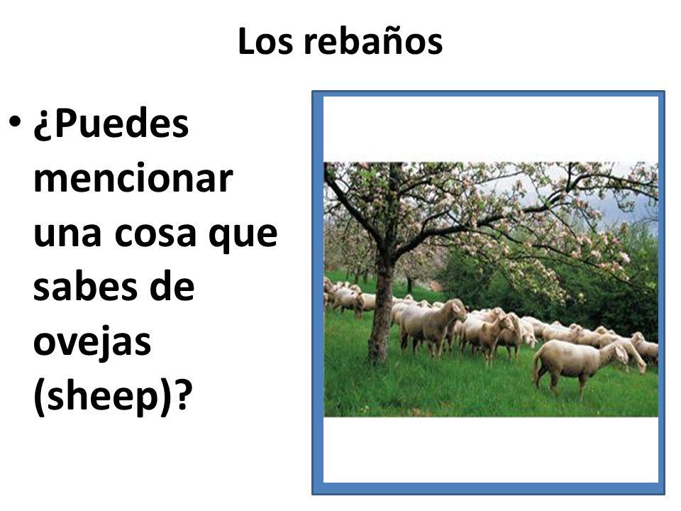 Los rebaños ¿Puedes mencionar una cosa que sabes de ovejas (sheep)?