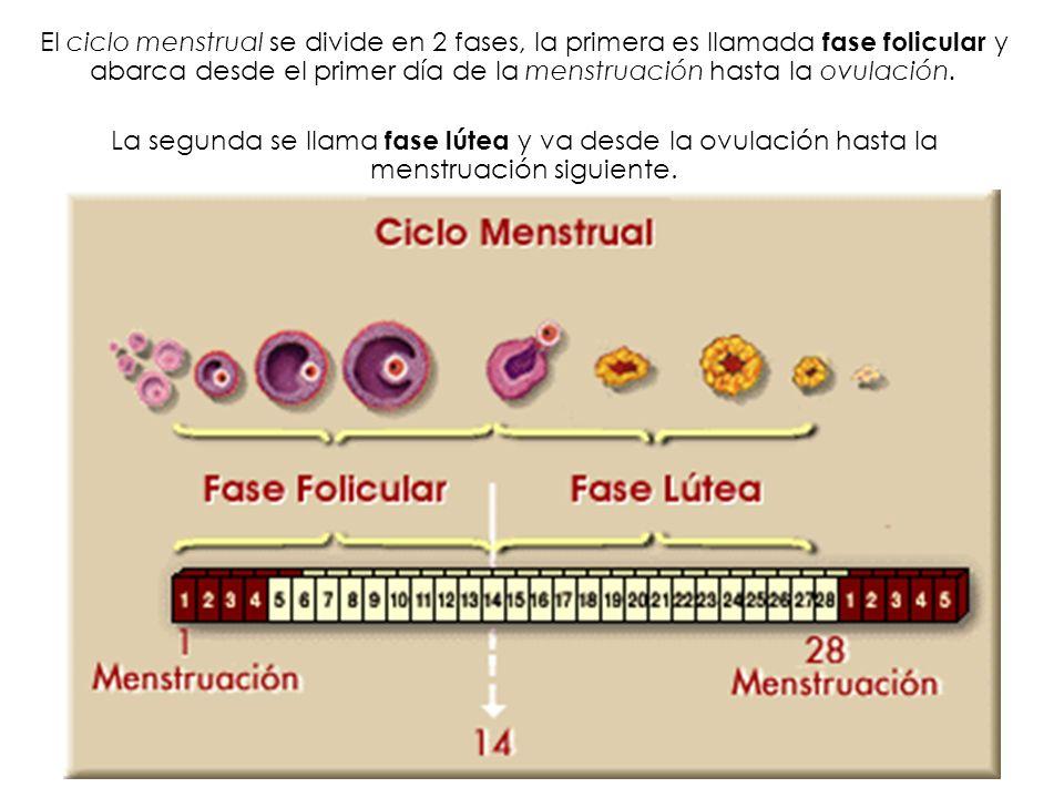El ciclo menstrual se divide en 2 fases, la primera es llamada fase folicular y abarca desde el primer día de la menstruación hasta la ovulación. La s